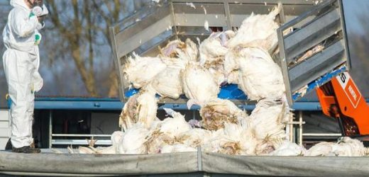 Second case of bird flu in Germany, proved – 30 animals killed