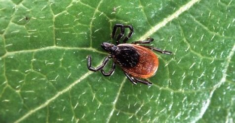 Potential treatment for Lyme disease kills bacteria that may cause lingering symptoms, study finds