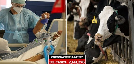 Scientists developing COVID-19 antibody treatment from cow's blood