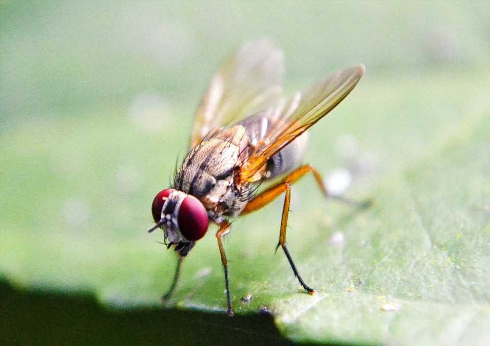 New clues from fruit flies about the critical role of sex hormones in stem cell control