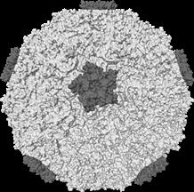 Common cold combats influenza