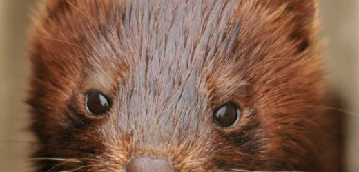 Study shows SARS-CoV-2 jumped between people and mink, providing strong evidence of zoonotic transmission