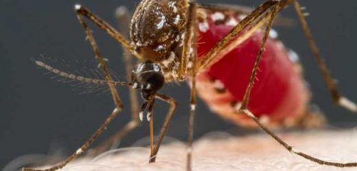 Mosquitoes' taste for blood traced to four types of neurons