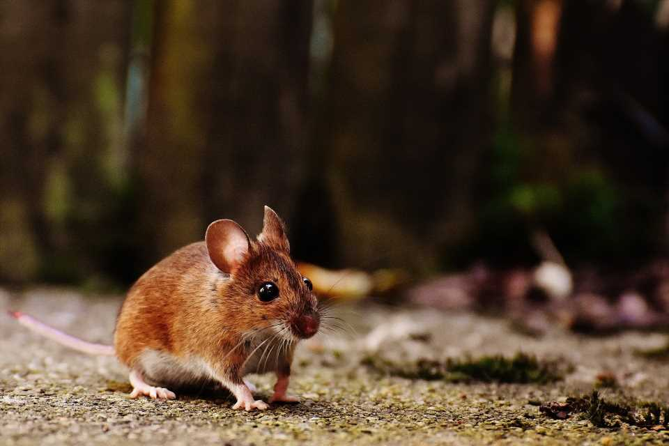 'Exercise protein' doubles running capacity, restores function and extends healthy lifespans in older mice