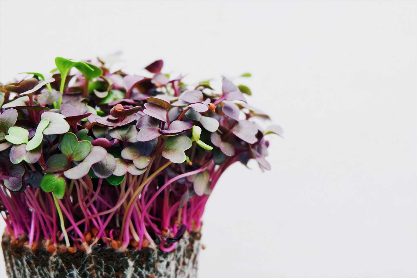 Trendy microgreens offer flavor you can grow at home