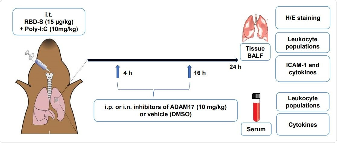 Experimental evidence that ADAM17 inhibition prevents severe COVID-19