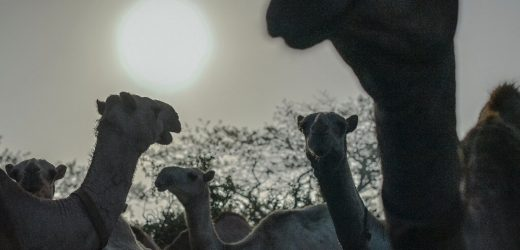 With giant swabs and grumpy camels, Kenya hunts for next deadly virus