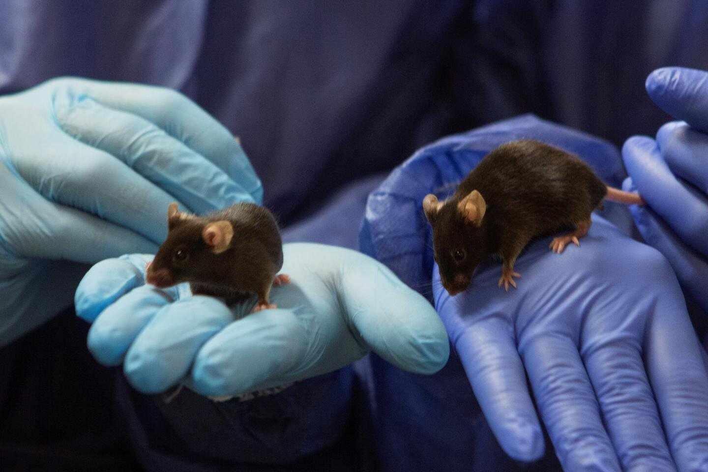 A new mouse model gave surprising findings about Folling Disease