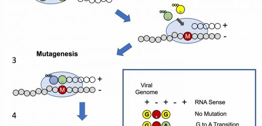 Lab reveals how an oral antiviral drug confuses the replication machinery of SARS-CoV-2