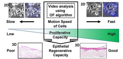 Cell and colony motion index of oral keratinocytes predicts epithelial regenerative capacity