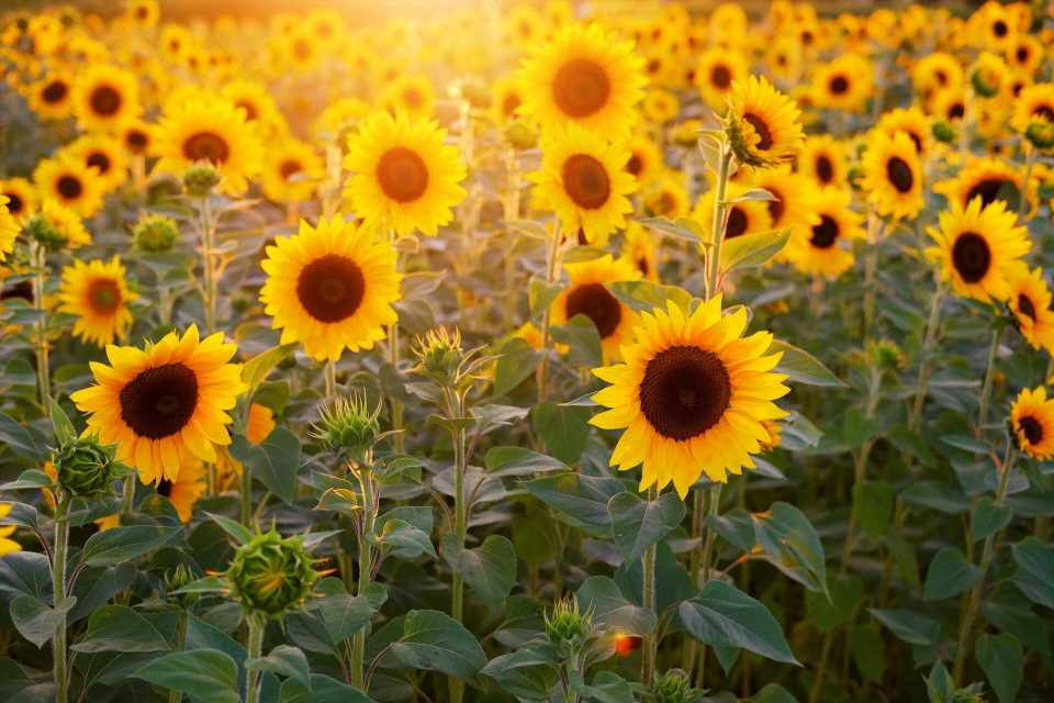 Sunflower peptide as template for potential analgesic