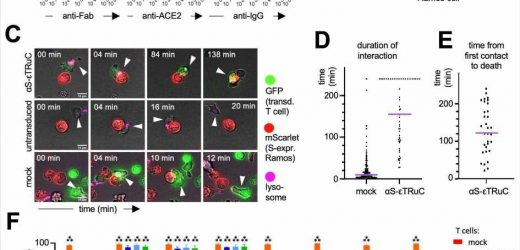 Engineered T cells prevent translational shutdown in SARS-CoV-2 infected cells